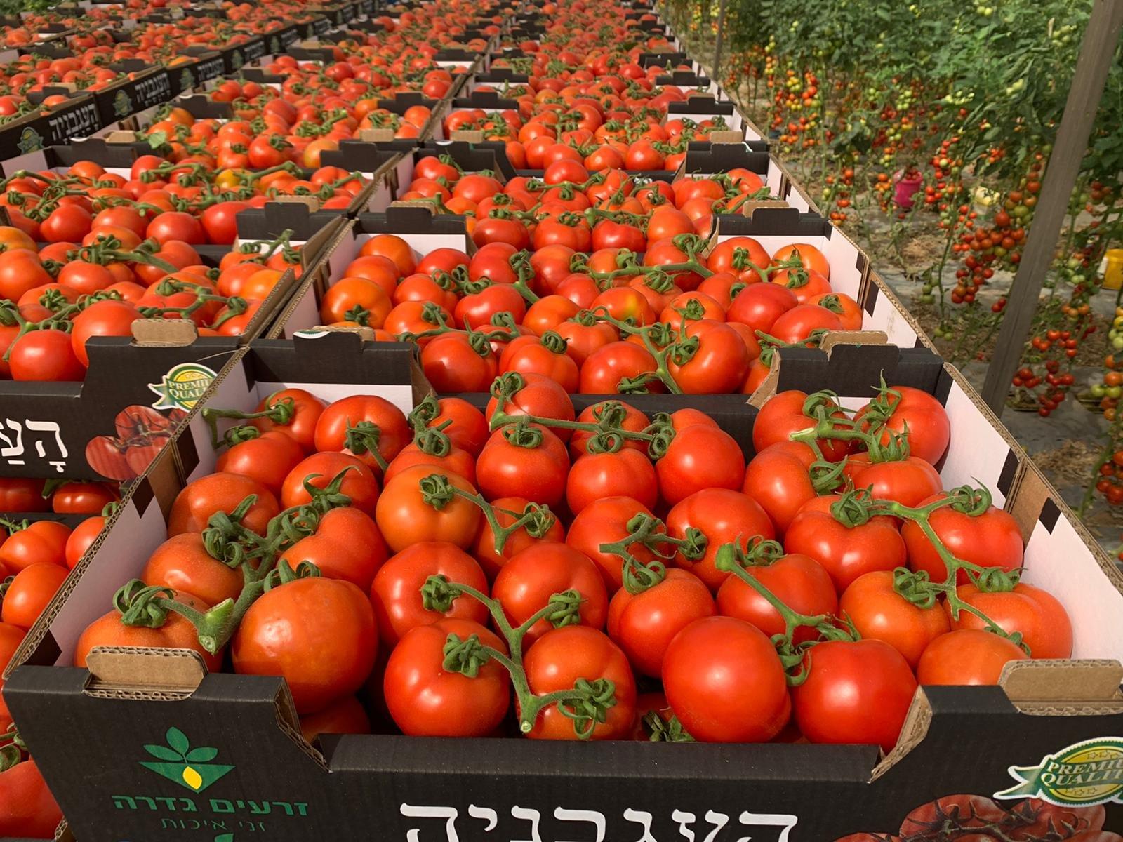 קטיף עגבניות